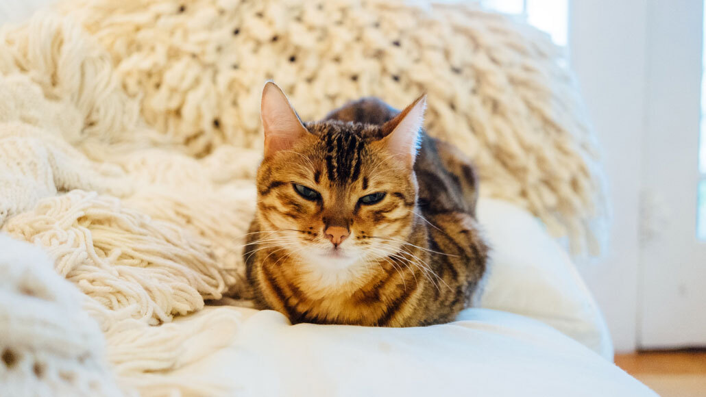 How two coronavirus drugs for cats might help humans fight COVID-19